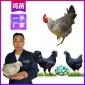 买优质野鸡苗 野鸡苗养鸡场 野鸡苗孵化