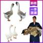 河南濮阳鹅苗价钱,直销鹅苗孵化技术,本地优质狮头鹅苗孵化技术